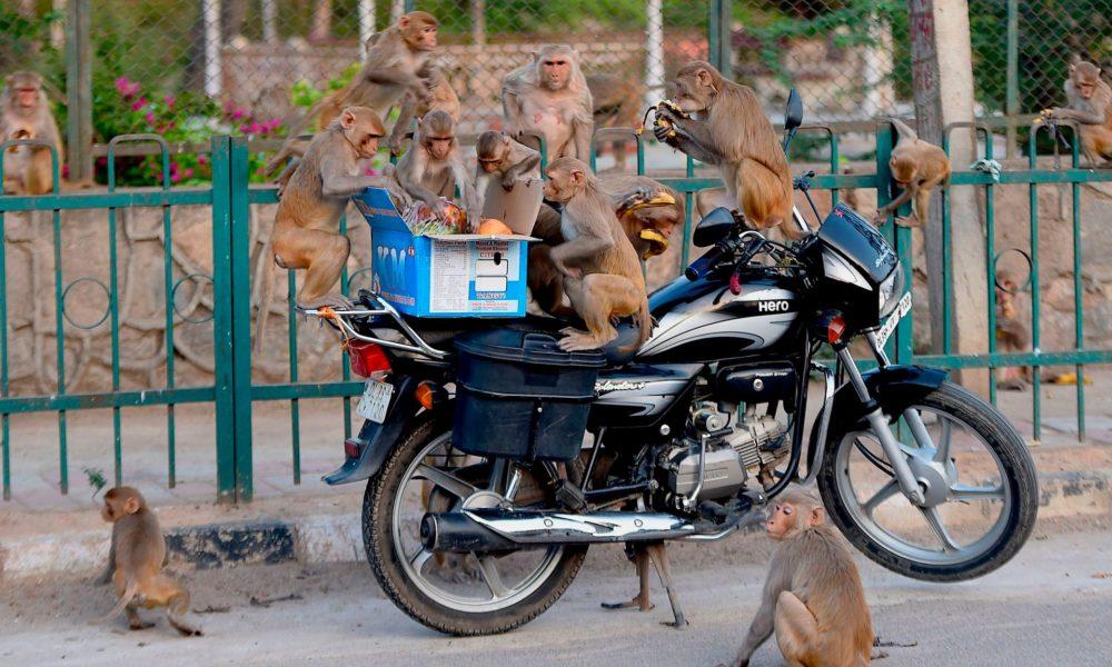 Monkeys Steal Coronavirus Blood Samples